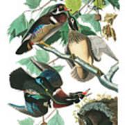 Lummer Or Wood Duck Poster