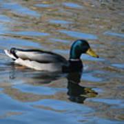 Duck Mallard Duck Poster by Hasani Blue