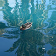Duck Swimming In The Blue Lagoon Poster
