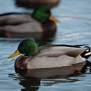 Duck Trio Poster