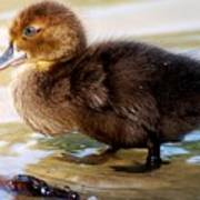 Duckling In Water Poster
