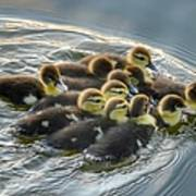 Duckling Wake Poster