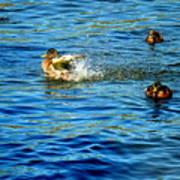 Ducks In Water Poster