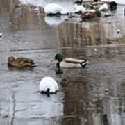 Ducks In Winter Poster