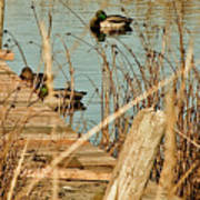 Ducks On A Pond Poster