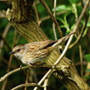 Dunnock In A Hedgerow Poster
