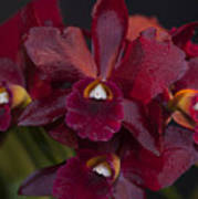 Dusty Red Orchid Poster