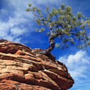 Dwarf Pine And Sandstone Zion Utah Poster