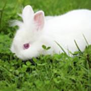 Dwarf White Bunny Spring Scene Poster