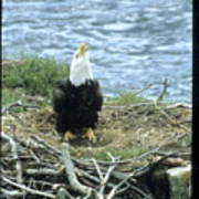 Eagle Calls In Its Mate Poster