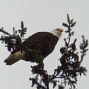 Eagle In A Tree Poster