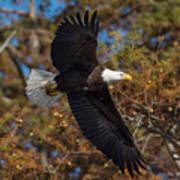 Eagle In Fall Poster