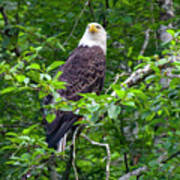 Eagle In Tree Poster