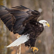 Eagle Landing On Perch Poster