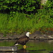 Eagle On A River Rock Poster