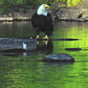 Eagle On River Rock IIi Poster