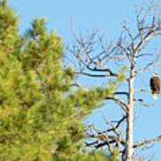 Eagle Perch Poster