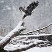 Eagle Takeoff In Snow Poster