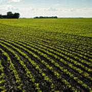 Early Growth Soybean Field Poster