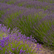 Early Morning Lavender Poster