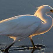 Early Morning Light On Egret Poster