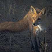 Early Morning Red Fox Prowl Poster