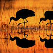 Early Morning Sandhill Cranes Poster