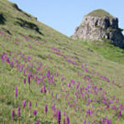 Early Purple Orchids In The Derbyshire Dales Poster
