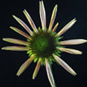Early Stage Of Cone Flower Bloom Poster