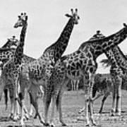 East Africa: Giraffe Poster