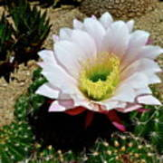 Easter Lily Cactus Poster