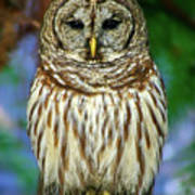 Eastern Barred Owl Poster