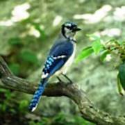 Eastern Blue Jay Poster