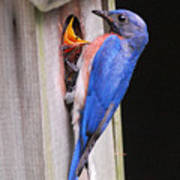 Eastern Bluebird And Chick Poster