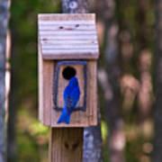 Eastern Bluebird Entering Home Poster