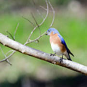 Eastern Bluebird Poster by George Randy Bass
