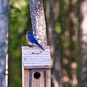 Eastern Bluebird Perched On Birdhouse 2 Poster