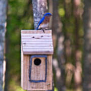 Eastern Bluebird Perched On Birdhouse 3 Poster