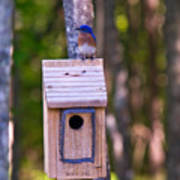 Eastern Bluebird Perched On Birdhouse 4 Poster