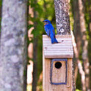 Eastern Bluebird Perched On Birdhouse Poster