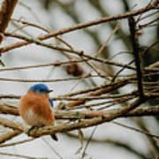 Eastern Bluebird Poster