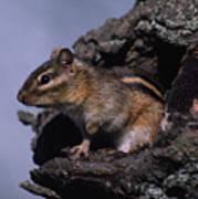 Eastern Chipmunk In Tree Poster