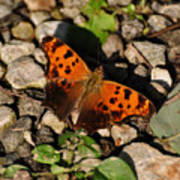 Eastern Comma Butterfly Poster
