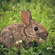 Eastern Cottontail Poster