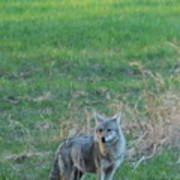 Eastern Coyote In Grass Poster