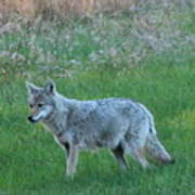 Eastern Coyote In Meadow   Poster