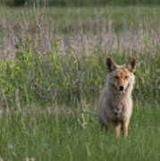 Eastern Coyote Poster
