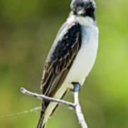 Eastern Kingbird Stare Poster