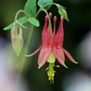 Eastern Red Columbine - D010104 Poster