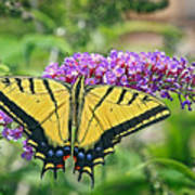 Eastern Swallowtail Poster
